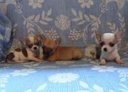Высокопородные щенки чихуа-хуа