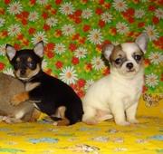 Высоко породные  щенки  чихуахуа из питомника