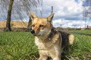В хорошие руки отличная охранница!  Собака с ярким именем Куба