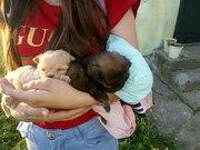 В ответственные руки красивые щенки. Будут маленького размера как такс