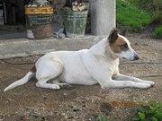 Добрая,  милая,  дружелюбная и очень озорная собака ищет себе хозяина. Ж