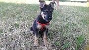 Чудо щенок Ральф ищет самые добрые и любящие ручки Малышу Ральфу 3 мес