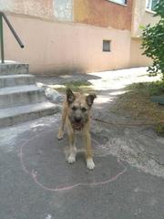 Ищет верного и надежного человеческого друга щенок Рекс.