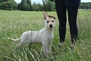 Малышка Лекси ищет дом  Обалденная щенуля! в нее влюбляются с первого