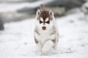 Сибирский Хаски оаровательная девочка от титулованных родителей
